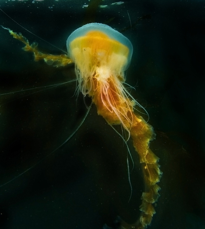 A Jelly Fish floating along at Breakwater in Monterey, a popular scuba diving spot.