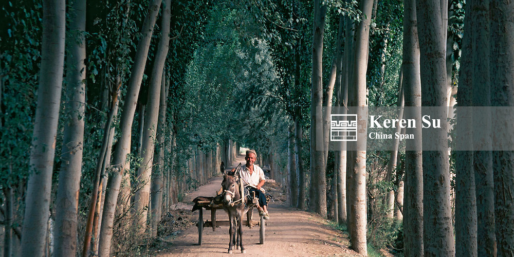 Donkey cart in the oasis, street flanked by poplar trees, Kashgar, Xinjiang Province, China