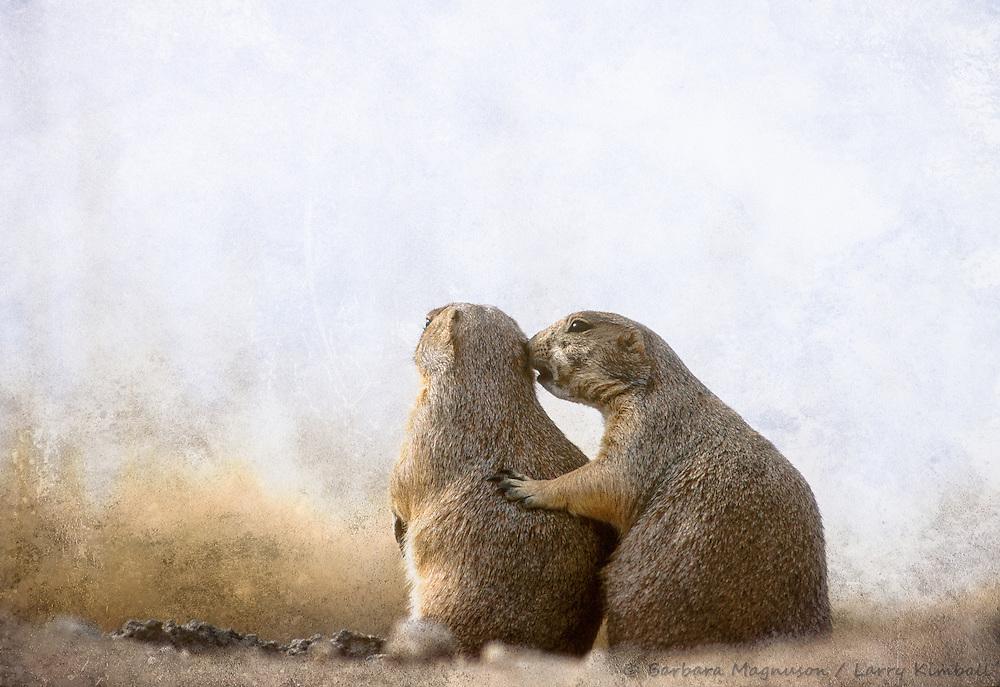 Black-tailed Prairie Dogs [Cynomys ludovicianus] bonding; Arizona