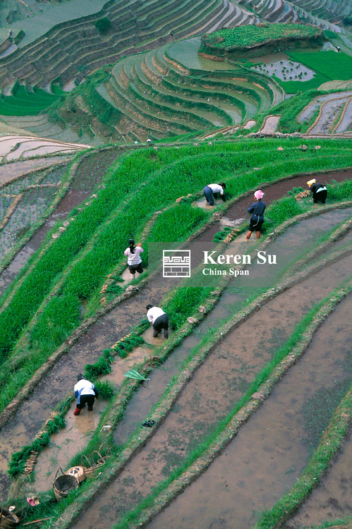 Farmers planting rice seedlings in the rice terrace, Longsheng, Guangxi Province, China