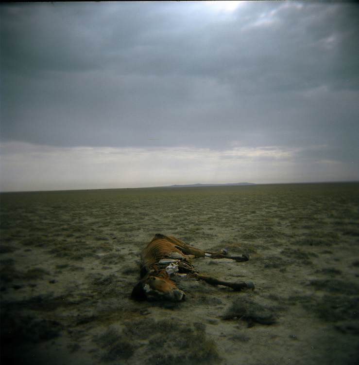 CREDIT: DOMINIC BRACCO II..SLUG:PRJ/KAZAKHSTAN..DATE:10/31/2009..CAPTION:A dead horse lies on the old Aral Sea bed on Oct. 30, 2009. The small vegetation had been completely grazed over and cut down by locals by their herds or for use of firewood. The destruction of vegetation on the former sea bed allows sands to blow away and further spread the effects of desertification...Aral Sea Overview: ..During the 1960s the USSR began irrigating the waters of the Aral Sea in southern Kazakhstan to combat their growing food crisis. The Soviets severely miscalculated and water began receding quickly from the port cities. The waters continued to recede. By 2000 the water was 80 km away from the city of Aralsk, a main seaport in Kazakhstan. In 2005 with help from the World Bank, construction began on a 13km dike that locals hoped would bring the waters back to their original shores. The project raised water quality and fishing was able to resume, however four years after completion of the dike the water is still 50km from Aralsk's port. Locals seem mixed on the possibility of the sea returning after more than 40 years without the sea. Fishermen from Aralsk make a three-hour path through soft desert road along the former seabed. The only source of income for many is cattle, horses, and camels, which have, began to overgraze the areas of the former seabed and surrounding desert. Because of this nutrient rich topsoil is lifted by the wind and the process of desertification continues.  .