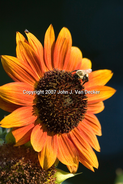 Sunflower being poliinated by a Bumblebee
