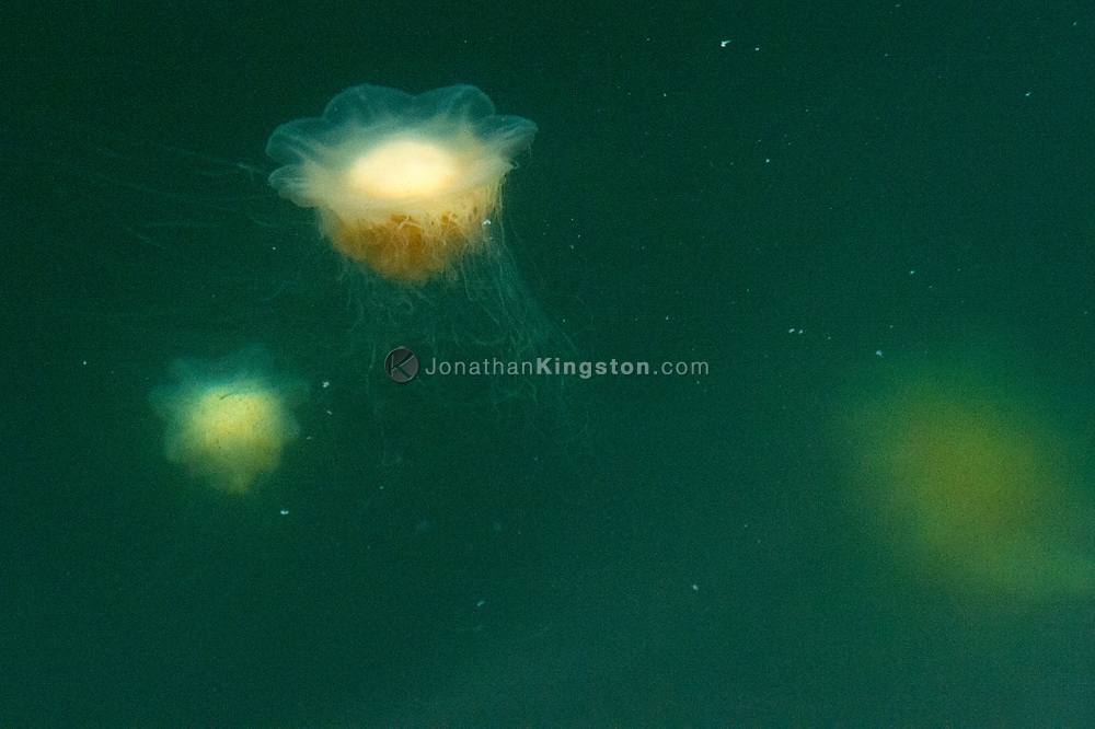 Jellyfish swimming in the nutrient rich waters of south east Alaska.