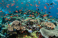 Teeming shallow reef life, with Anthias, Wrasses, and Hard Corals<br /> <br /> Shot in Indonesia