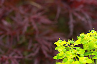 Acer palmatum Red Dragon with Euphorbia to fore