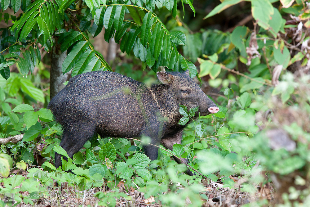 Profile of a Wild Collared Peccary (Pecari tajacu)  foraging for food on the forest floor of Corcovado National Park, Costa Rica