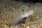 Randall's Shrimp Goby (Amblyeleotris randalli), photographed in Lembeh Strait, Indonesia.