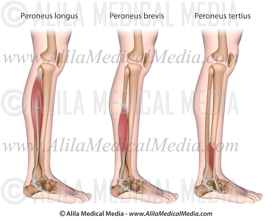 Peroneal Muscles Unlabeled Alila Medical Images