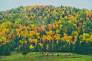 Acadian forest in autumn foliage. Near Edmunston. Madawaska County, Rolling hills. <br />Saint-Jacques<br />New Brunswick<br />Canada