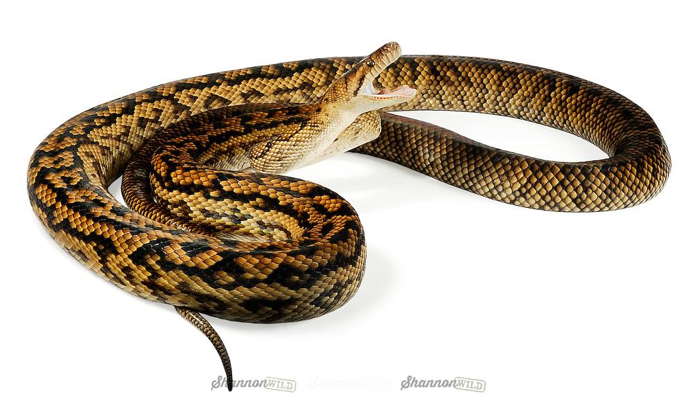 Scrub Python (Morelia amethistina kinghorni) is a non-venomous python species found in Indonesia, Papua New Guinea and Australia. Largest snake in Australia.  Also known as the Amethystine Python.