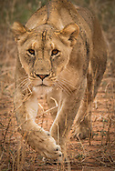 Lioness on the hunt at the edge of the marsh, Tarangire NationalPark