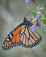 Monarch Butterfly Feeding on a Purple Wildflower. Image taken with a Nikon D2xs camera and 80-400 mm telephoto zoom lens (ISO 400, 400 mm, f/5.6, 1/80 sec).