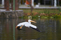 American White Pelican (Pelecanus erythrorhynchos) coming in for landing on Lake Chapala, Jocotopec, Jalisco, Mexico