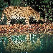 Jaguar, Pantera onca, Belize