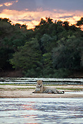 Jaguar<br /> Panthera onca<br /> Resting on riverbank at sunset<br /> Cuiaba River, Brazil