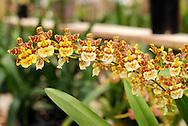 A bright and colorful line of flowers seem to dance along the stalk of an orchid plant