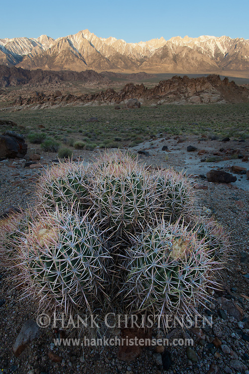 Barrel cactus is just starting to bloom in the Alabama Hills, Lone Pine, CA