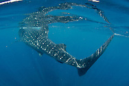 whale shark, rhincodon typus, feeding on plancton near surface and snorkeler at Isla Mujeres Mexico