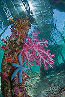 Vibrant Soft Coral and Blue Sea Star under a Jetty.Shot in West Papua Province, Indonesia