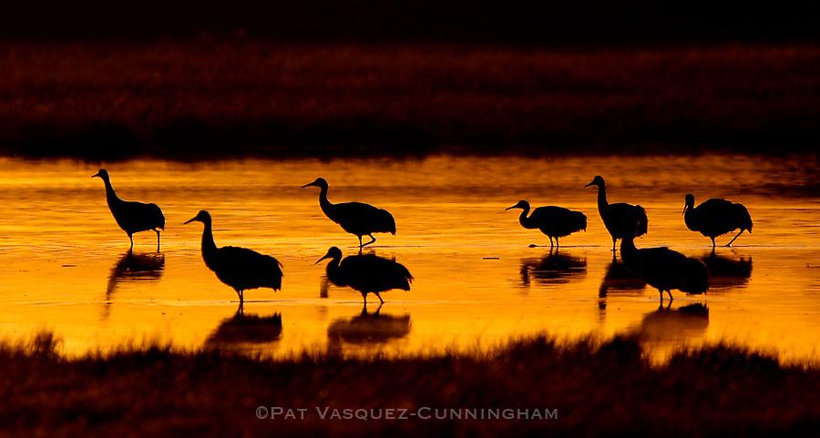 pvcBIRDIES1/11-8-07/ASEC.  Cranes wade through a shallow pond at the Bosque Del Apache Wildlife Refuge as the sun breaks Thursday morning, Nov. 8, 2007.  (Pat Vasquez-Cunningham/Journal)