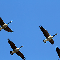Canada Geese, Branta Canadensis, flying in formation. Paramus, New Jersey, USA