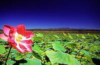 A bright pink water lily flower in the heart of Clancy's Lagoon, Mareeba Wetlands, Mareeba, far north Queensland, Australia.