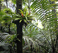 plants in El Yunque rainforest, Puerto Rico