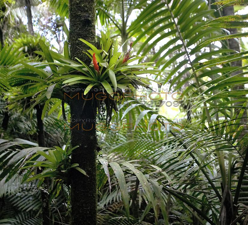 plants in El Yunque rainforest, Puerto Rico