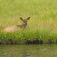 A young Elk rests near a stream in Yellowstone National Park.