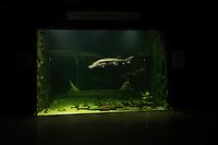 Sturgeons, Danube Delta Eco-Tourism Museum Center, aquarium in Tulcea, Danube Delta, Romania. Captive.
