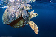 A pair of Green Sea Turtles, Chelonia mydas, mates near the surface offshore Juno Beach, Florida.