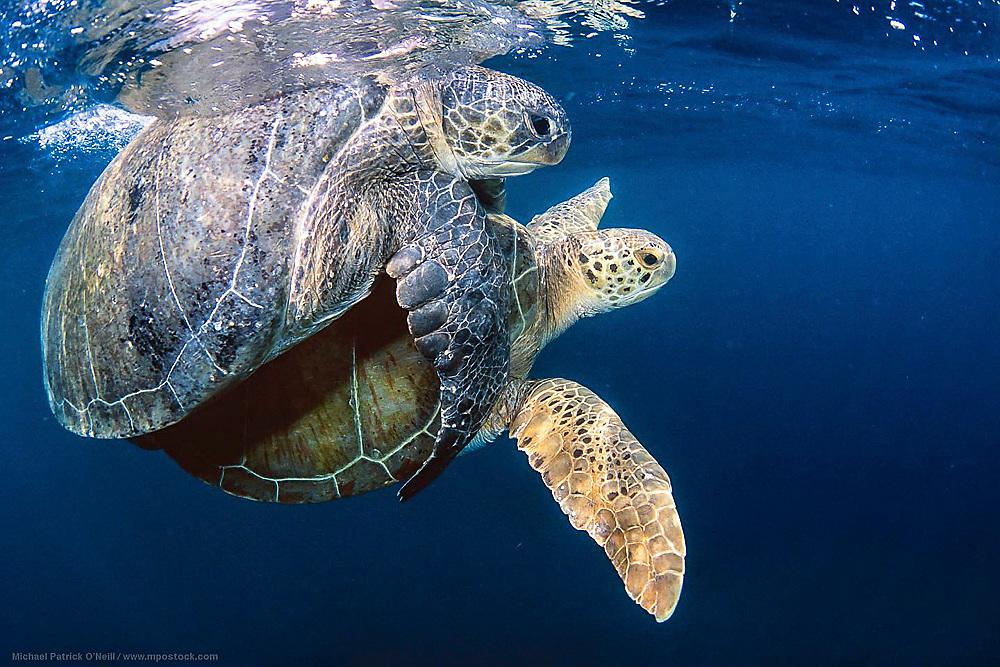 A pair of Green Sea Turtles, Chelonia mydas, mates near the surface offshore Juno Beach, Florida.