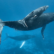 Humpback whale (Megaptera novaeangliae) mother and calf accompanied by an escort with a white pectoral fin. Photographed in Vava'u, Kingdom of Tonga.