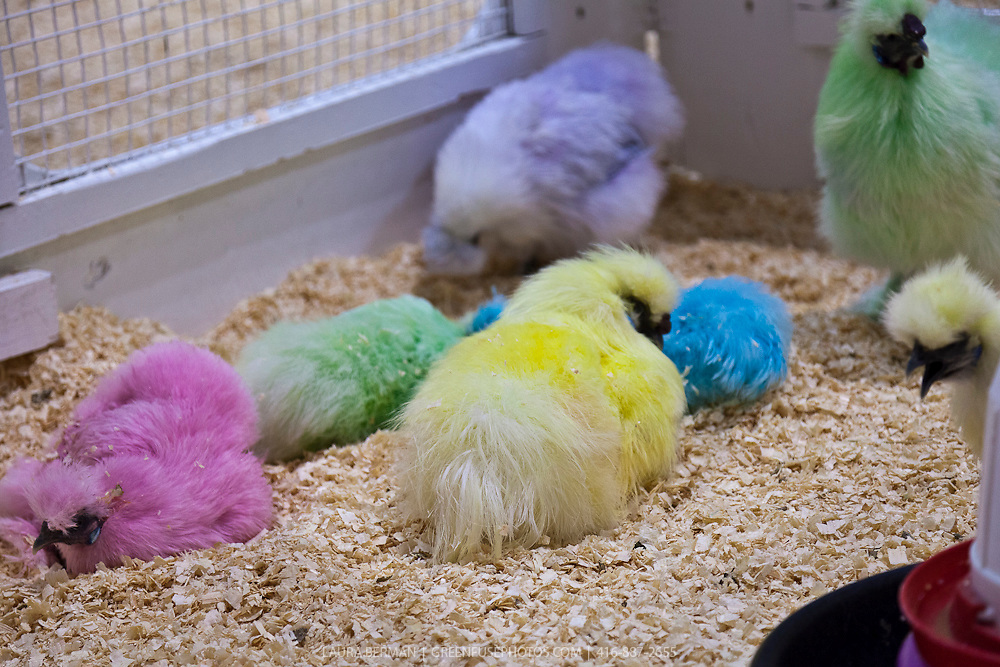 Silkie chickens dyed pink, blue, green purple and yellow