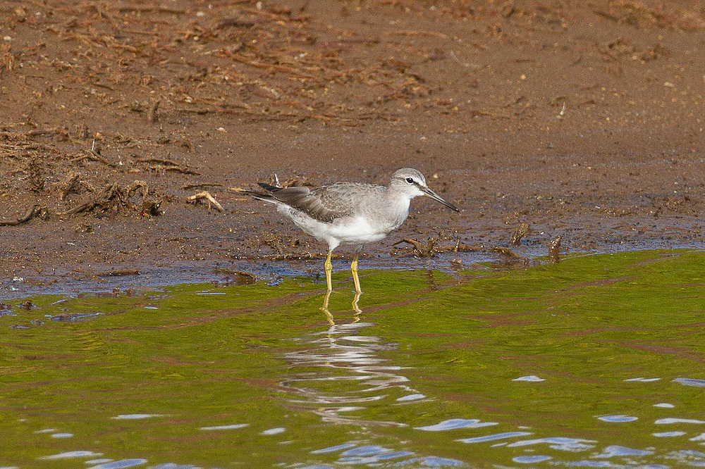 Gray-tailed Tattler or Siberian Tattler photo Hawaii