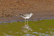 Gray-tailed Tattler photos