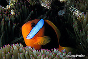 black anemonefish, Amphiprion melanopus, in sea anemone, Entacmaea quadricolor, Australia