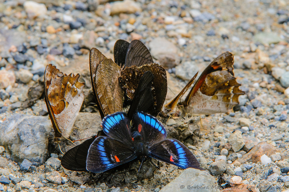 Butterfly congregation attracted to dung for minerals and nutrition; foreground: Bellona Metalmark [Necyria bellona; Riodininae] Butterfly ; San Isidro Reserve, Ecuador