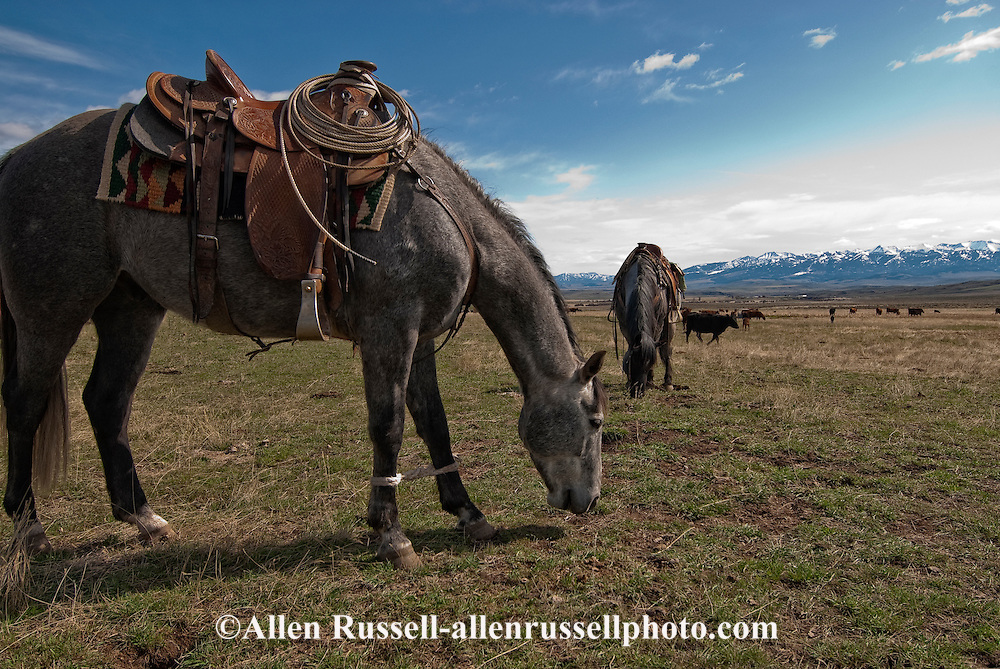 Ranch horses hobbled at branding, Wilsall, Montana, Crazy Mountains,<br /> PROPERTY RELEASED