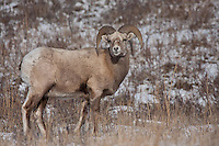 One of my favorite big animals of the Rocky Mountains is the Bighorn Sheep.  I took a drive west of Calgary along a route that I had never taken before and was lucky to find two large herds of sheep near Exsahw, Alberta.<br /> <br /> ©2009, Sean Phillips<br /> http://www.Sean-Phillips.com