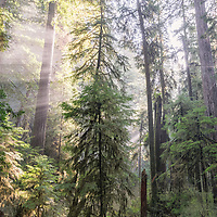 Foggy redwoods, Howland Hill. Jedediah Smith State Park, California