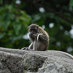 Lonely chimp on a rock playing with some wooden fibre.