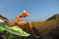 A mantis lurks for prey in the vegetation near the sand dunes.