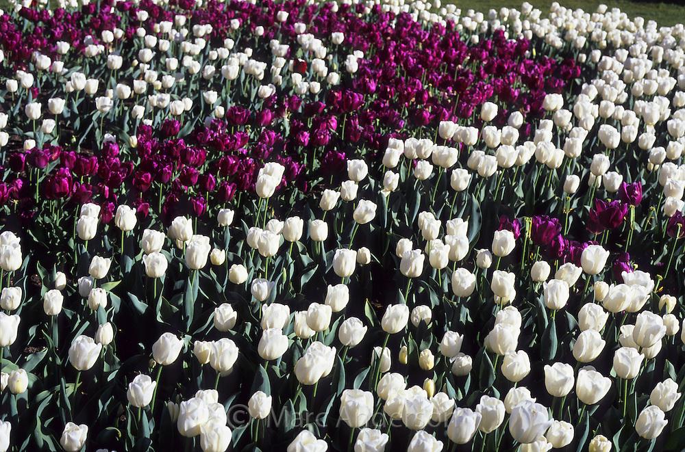 Purple & white tulips.