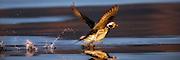 Long Tailed Duck running on water with reflection in the sea. Captured in early morninglight | Havelle løper på vannet, med refleksjon i sjøen. Tatt i tidlig morgenlys.