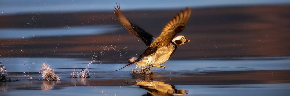 Long Tailed Duck running on water with reflection in the sea. Captured in early morninglight   Havelle løper på vannet, med refleksjon i sjøen. Tatt i tidlig morgenlys.