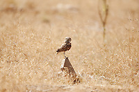 When the vegetation grows tall the Burrowing Owl a ground owl will use anything to stand on to gain an advantage in there favor.