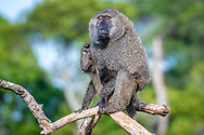 Olive baboon (Papio anubis)  also called the Anubis baboon sits on a branch in the Maasai Mara National Reserve, Kenya