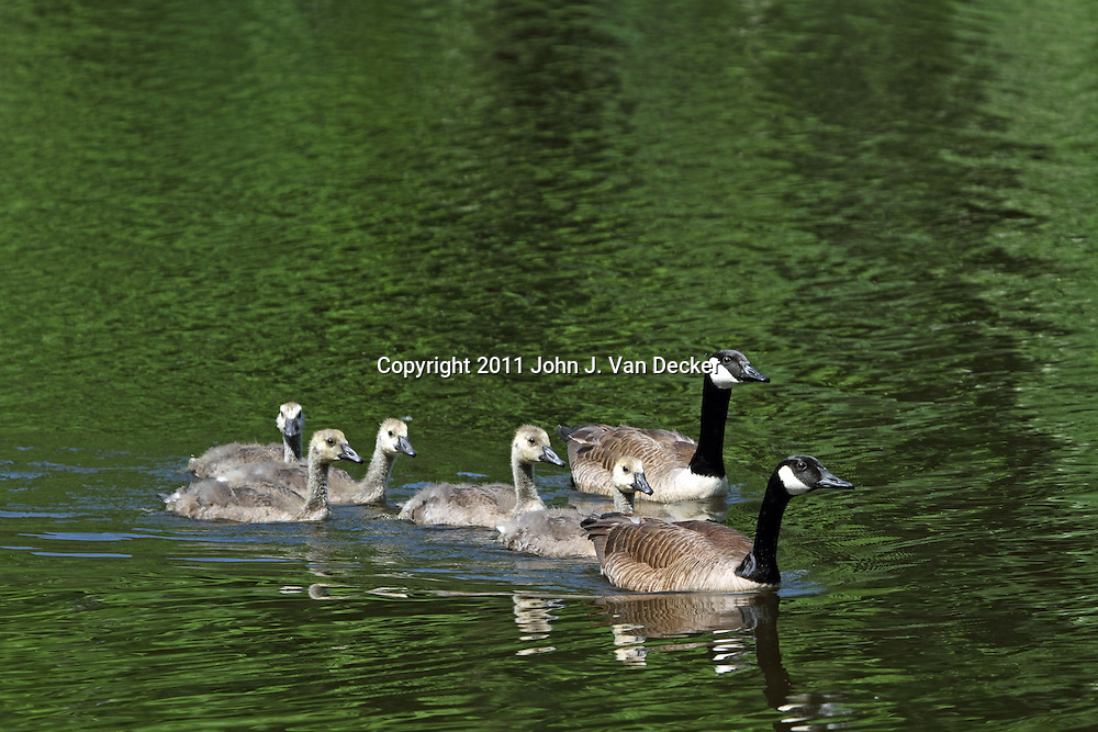 A family of Canada Geese swimming in the pond at Verona Park, Verona, New Jersey, USA