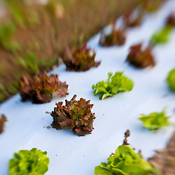 A field of lettuce at Heron Pond Farm in South Hampton, New Hampshire.